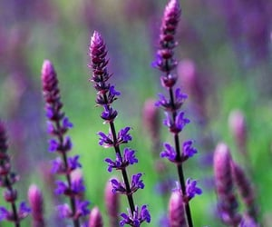 flowers, sage, and nature image