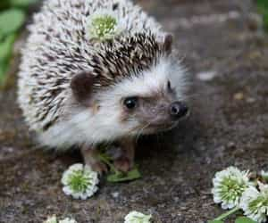 adorable, animals, and hedgehogs image