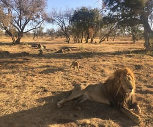 africa, south africa, and lion image