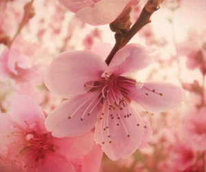 cherry blossoms and close up image