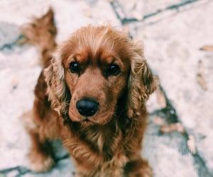 cocker spaniel, dog, and favorite image