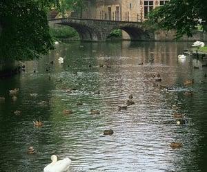 belgium, nature, and Swan image