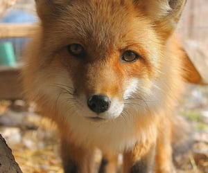 fox, animals, and cute image