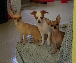 perros, chihuahuas, and amor puro image