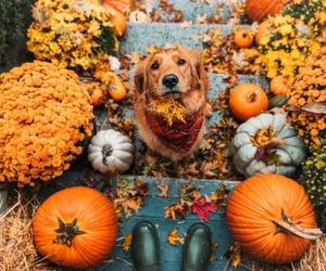 dog, autumn, and pumpkin image