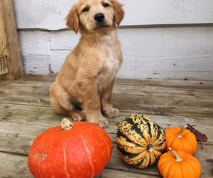 autumn, dogs, and pumpkin image