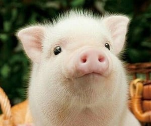 animal, pig, and piglet image