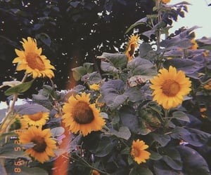 flower and sunflower image