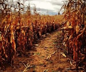 autumn, fall, and corn image