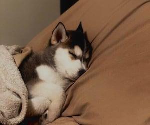 dog, husky, and puppy image