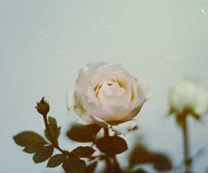 roses, vintage, and white image