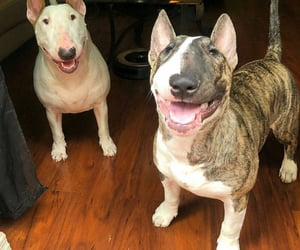 dog, friend, and bull terriers image
