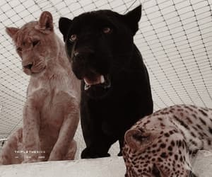 animal, aesthetic, and lion image