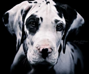 animals, black and white, and dogs image