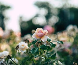 beauty, flower, and rose image
