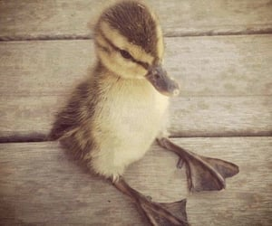 baby duck, aninals, and cute image