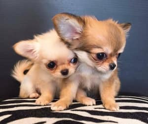 baby animals, chihuahua, and cute animals image