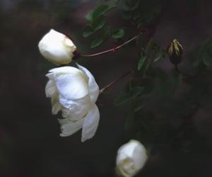 beautiful, rose, and white image