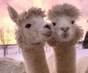 alpaca, animals, and sunset image