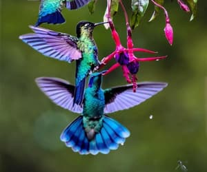 animals, colorful, and hummingbird image