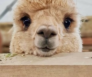 alpaca and animal image