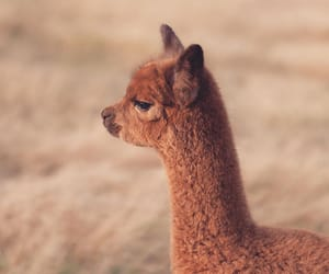 alpaca and animals image