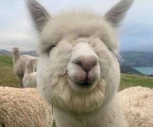 alpaca, animals, and alpac image