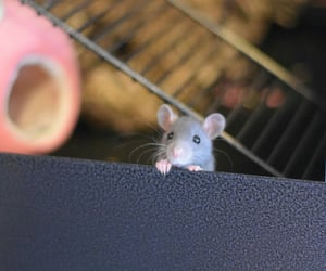 animal, mouse, and rat image