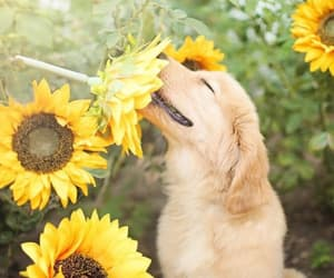 dog, pretty, and sunflower image