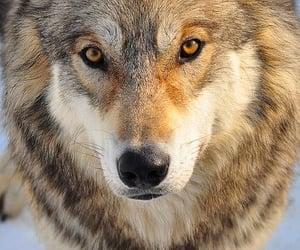 lobo, wildlife, and yellow eyes image