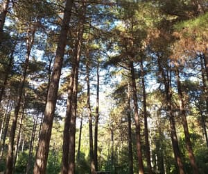 day, tall, and coniferous image