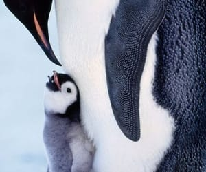 animals, penguin, and love image