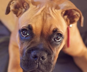 animals, dogs, and boxer image