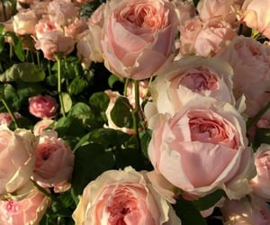 aesthetic, pink, and roses image