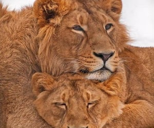 fashion, lion, and animal animals image