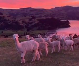alpaca, sunset, and loach image