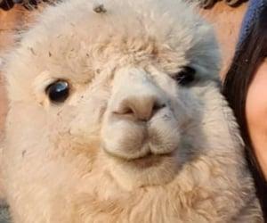 :3, alpaca, and animal image