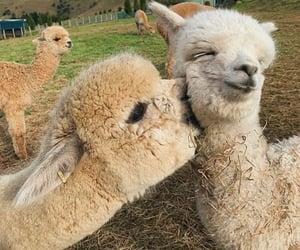 animal, alpaca, and kiss image