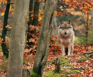 autumn and wolf image