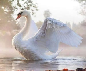 animals, nature, and swans image