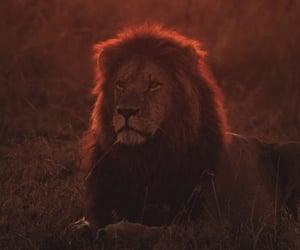 animal, lion, and wallpapers image