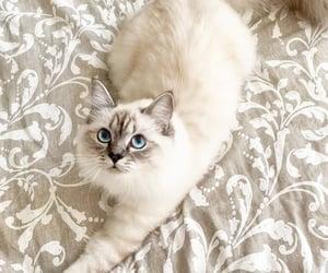 animals, blue eyes, and cat image