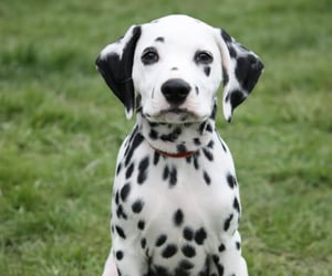 puppy, dalmatian, and dog image