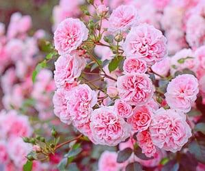 flower, pink, and frühling image