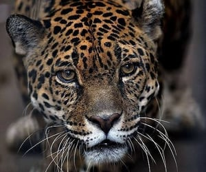animal, leopard, and photography image