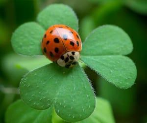 clover, animal, and ladybug image