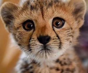 animal, cheetah, and nature image