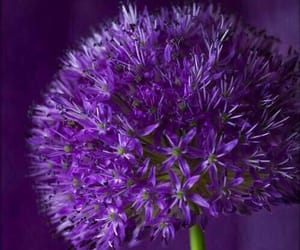 blossoms, purple, and pinterest image