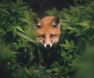 animals, red fox, and wild image