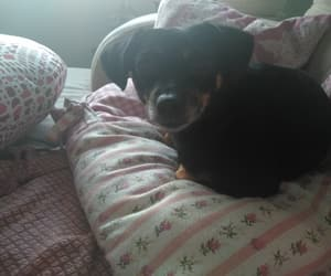 baby, mia, and pinscher image